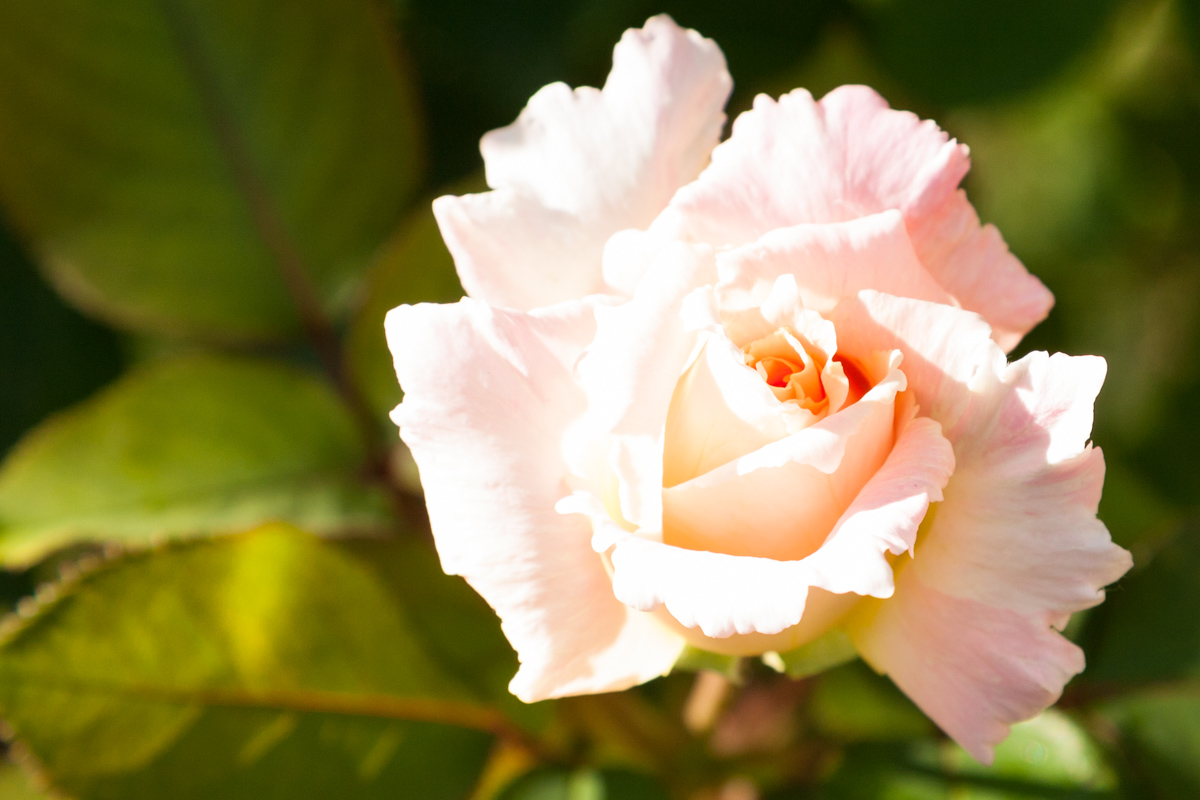 Close up of rose in Nice in the garden of the Russian orthodox cathedral