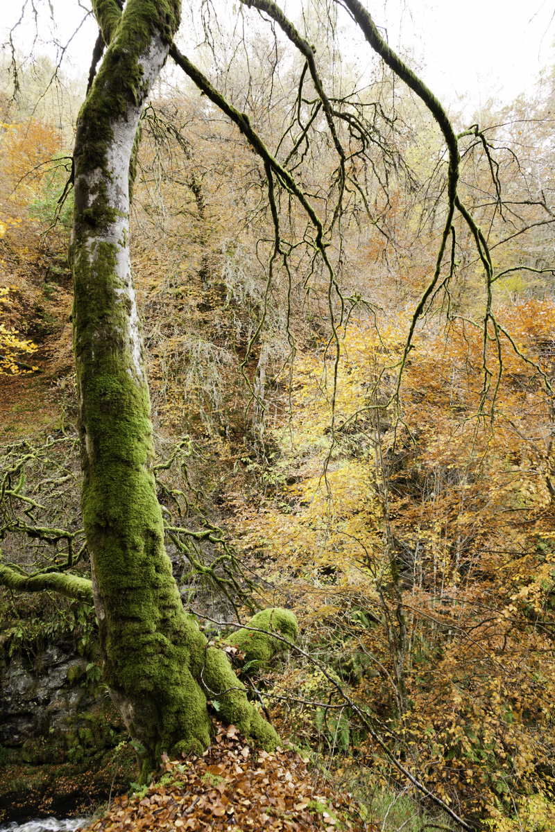 Gnarled and mossy tree at the Birks of Aberfeldy.