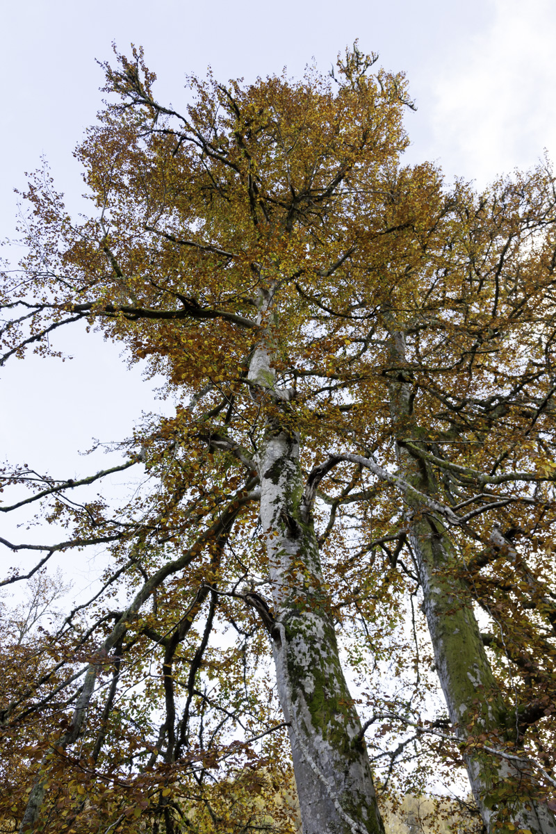 View looking up a tree towards the sky, highlighting the yellow leaves at the Birks of Aberfeldy.