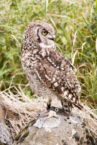 African Spotted Owl perched on rock.