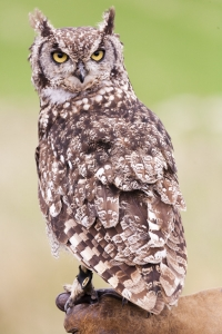 African Spotted Owl perched on falconer.