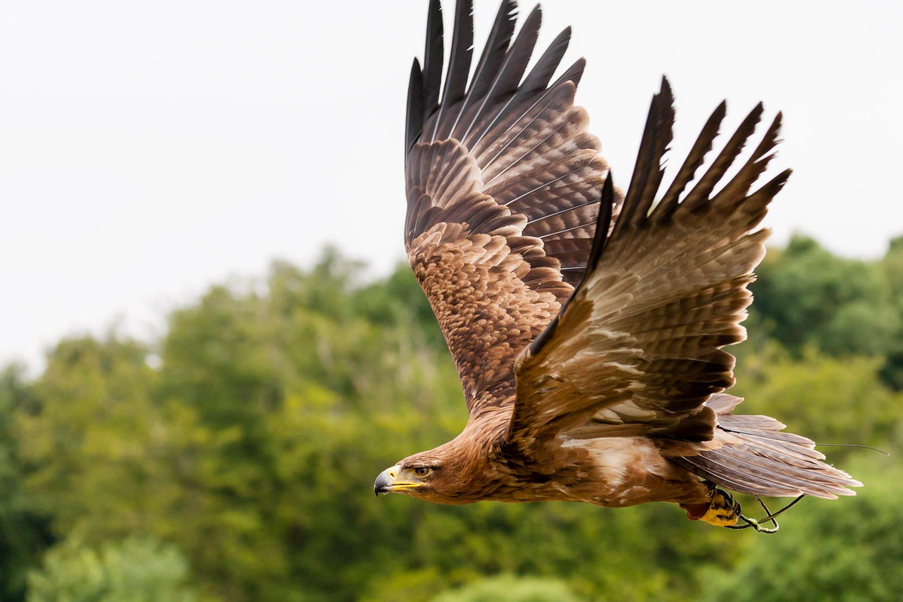 http://tonyrandell.co.uk/wp-content/uploads/2015/06/Golden-Eagle-81.jpg