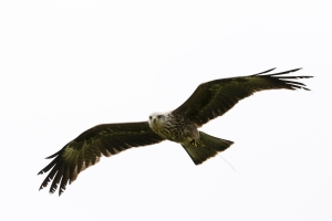 Red Kite flying over head.