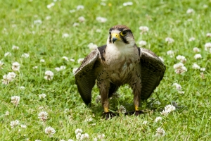 Peregrine mantling in the clover